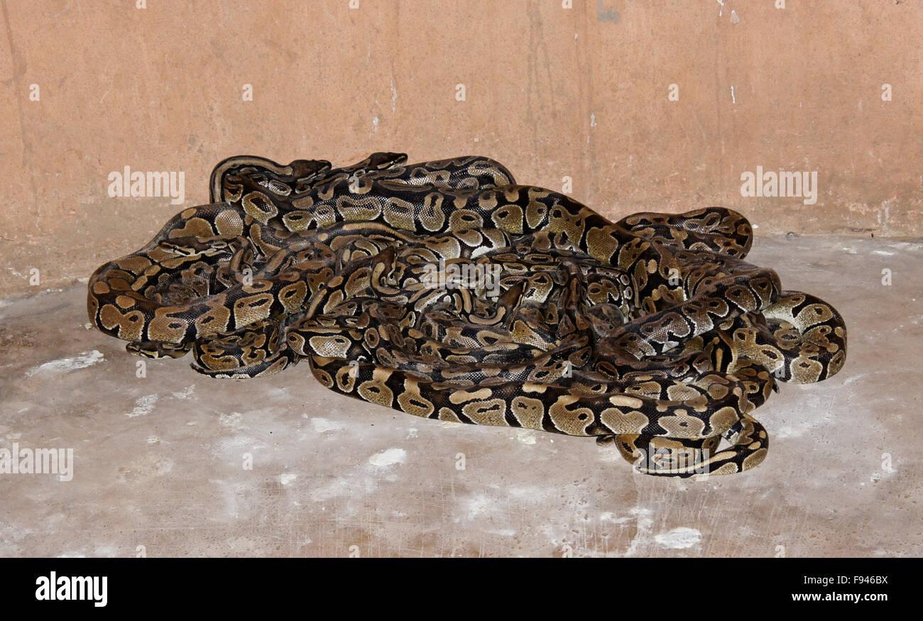 Royal Sheba pythons in small room at vodun (voodoo) Python