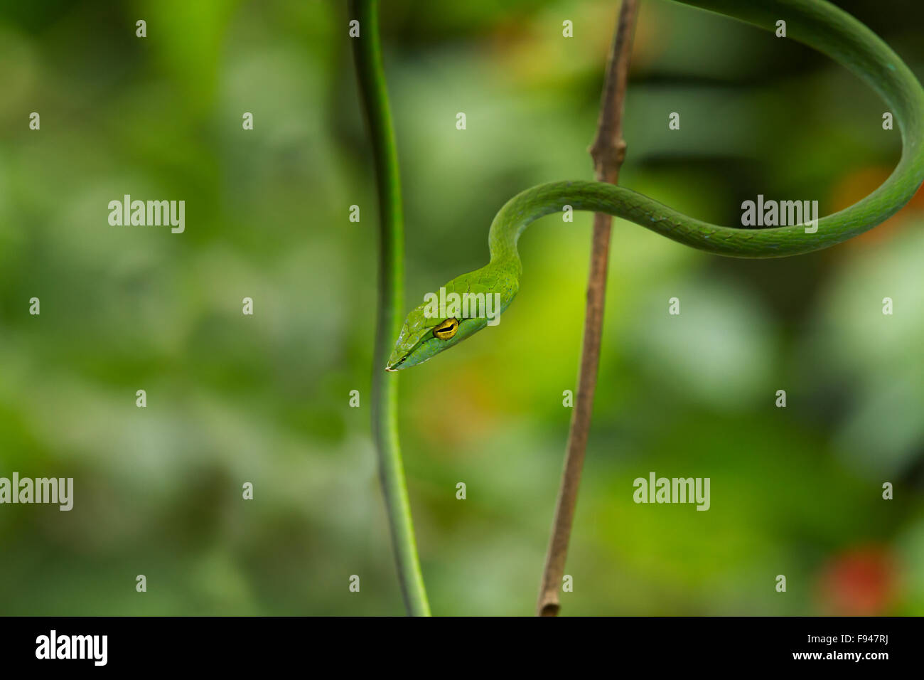 The Common Vine Snake (Ahaetulla nasuta), is a slender green tree snake found in India Stock Photo
