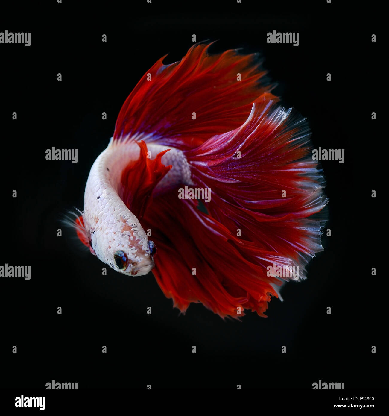 siamese fighting fish half moon - Stock Image