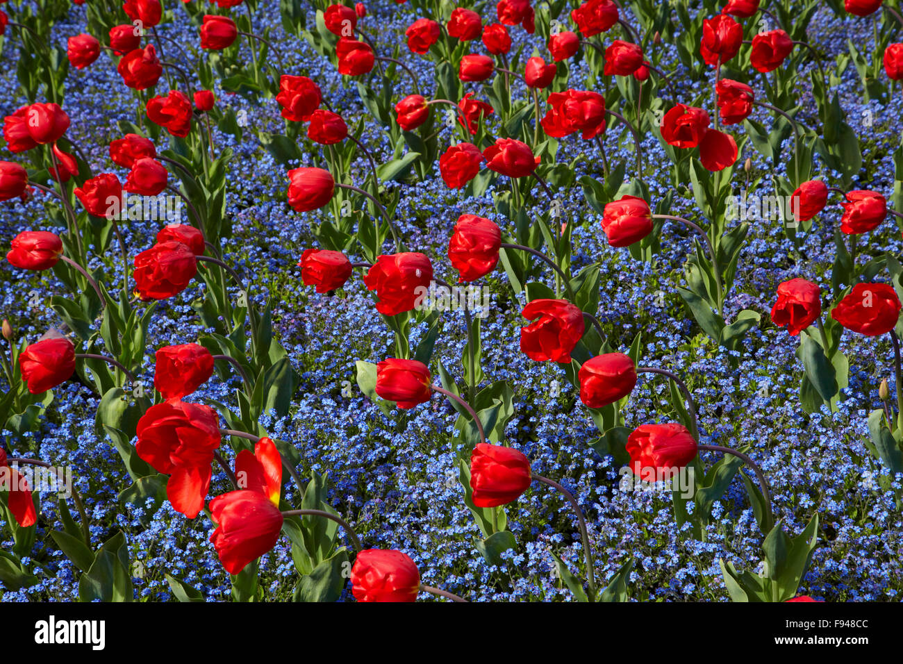 Tulips, Botanic Gardens, Hagley Park, Christchurch, Canterbury, South Island, New Zealand - Stock Image