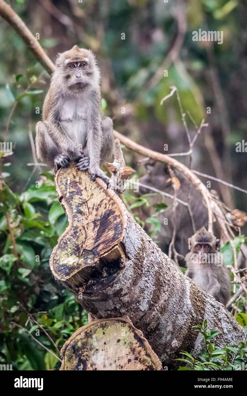 Long Tailed Macaque, Kalimantan , Indonesia - Stock Image