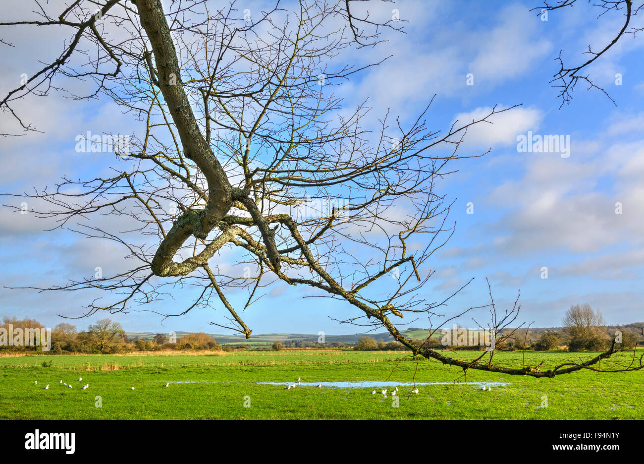 Flooded field in Winter in the UK with a leafless tree in the foreground. - Stock Image