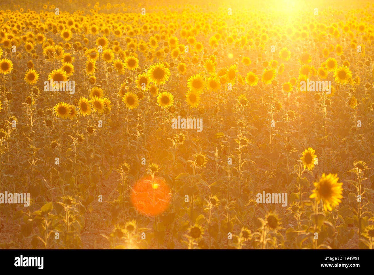 Golden sunflowers field with light effect - Stock Image