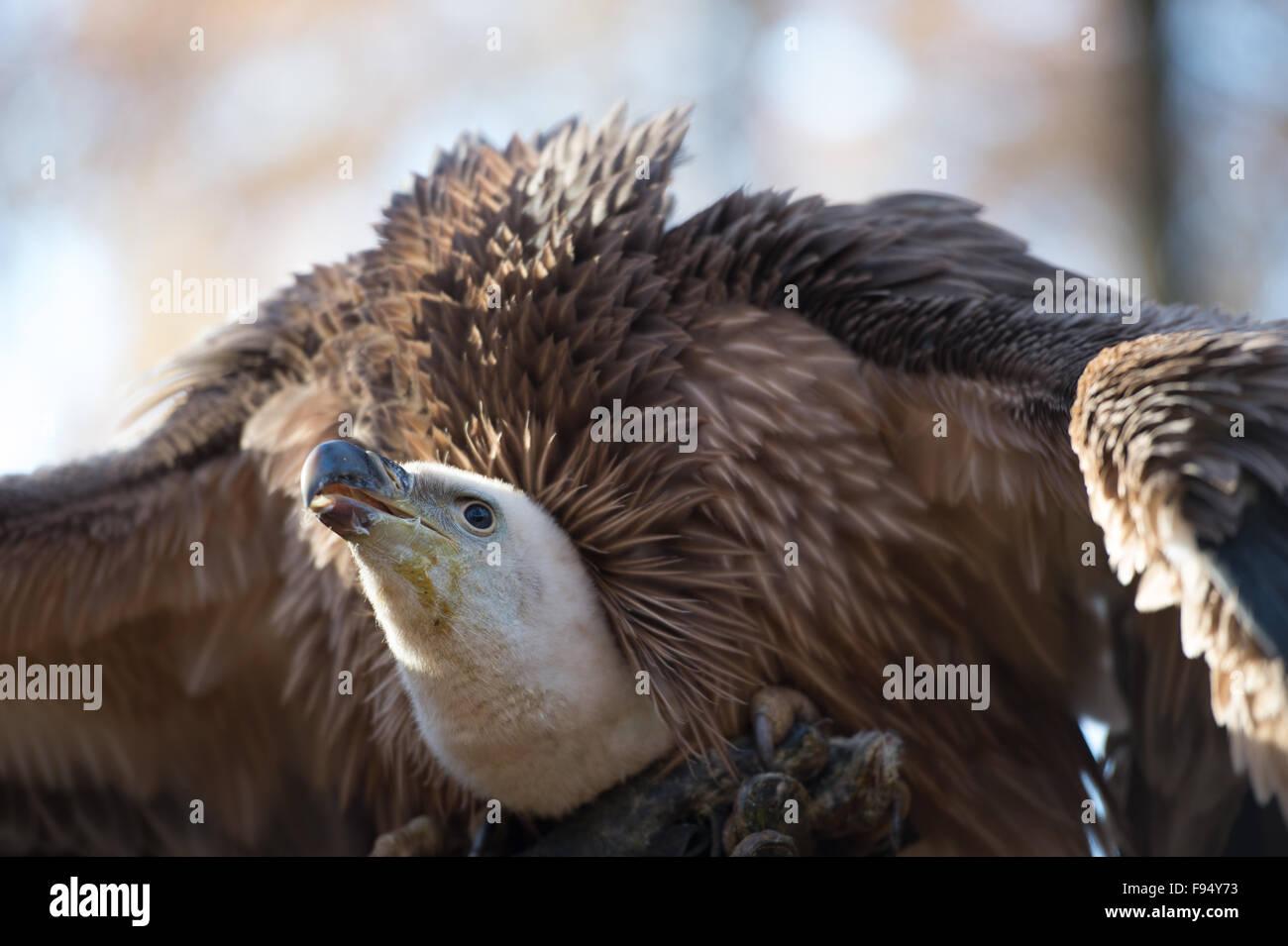 Eurasian griffon, Gyps fulvus, Accipitridae, Europe horizontal animal - Stock Image