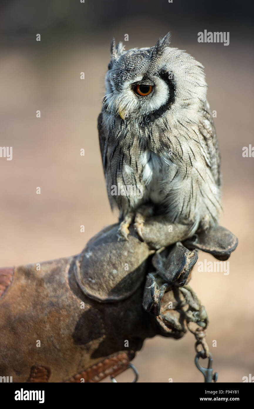Southern white-faced scops owl, Ptilopsis granti, Strigidae, African - Stock Image