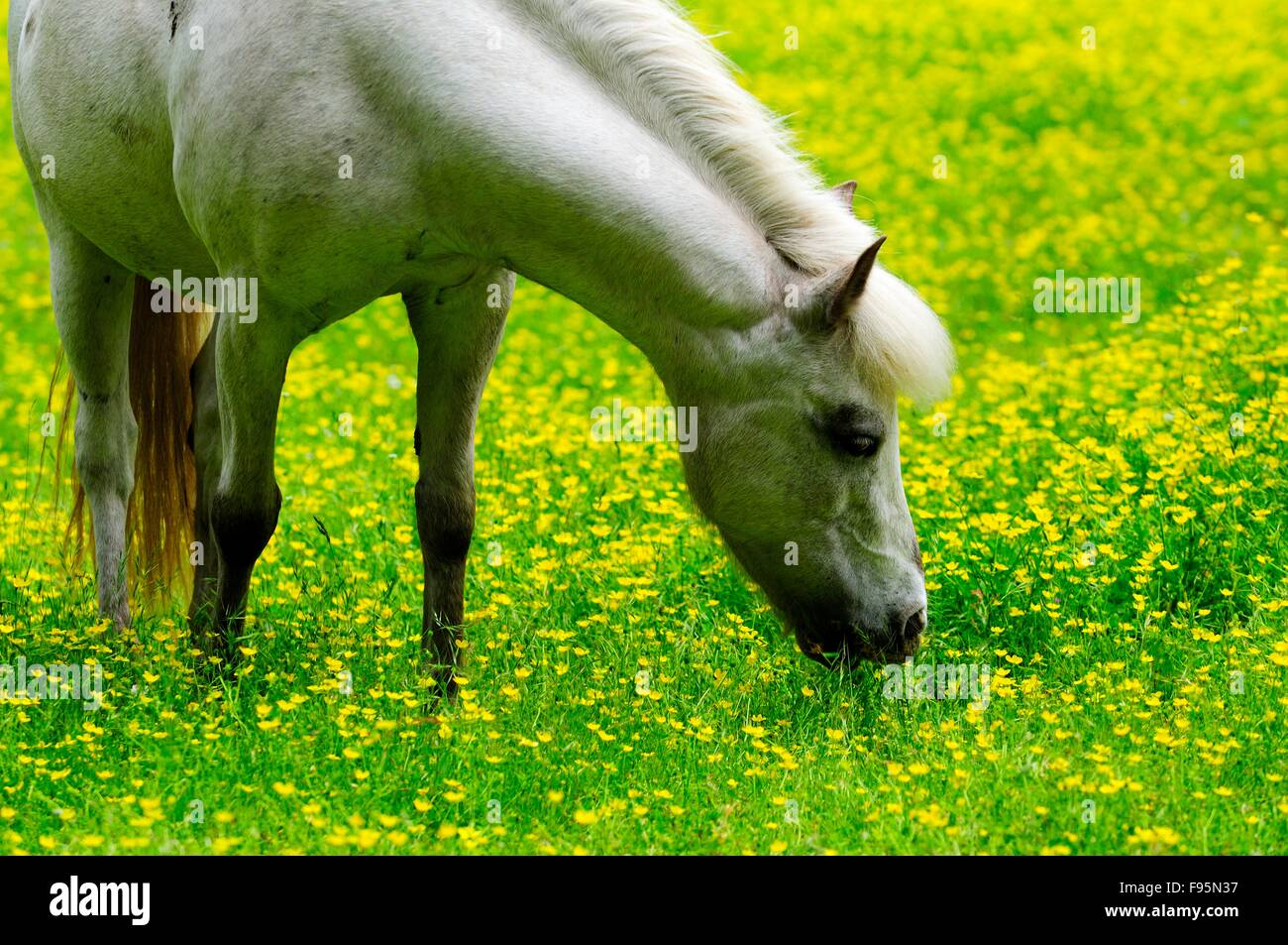 Welsh pony in a field of buttercups. - Stock Image