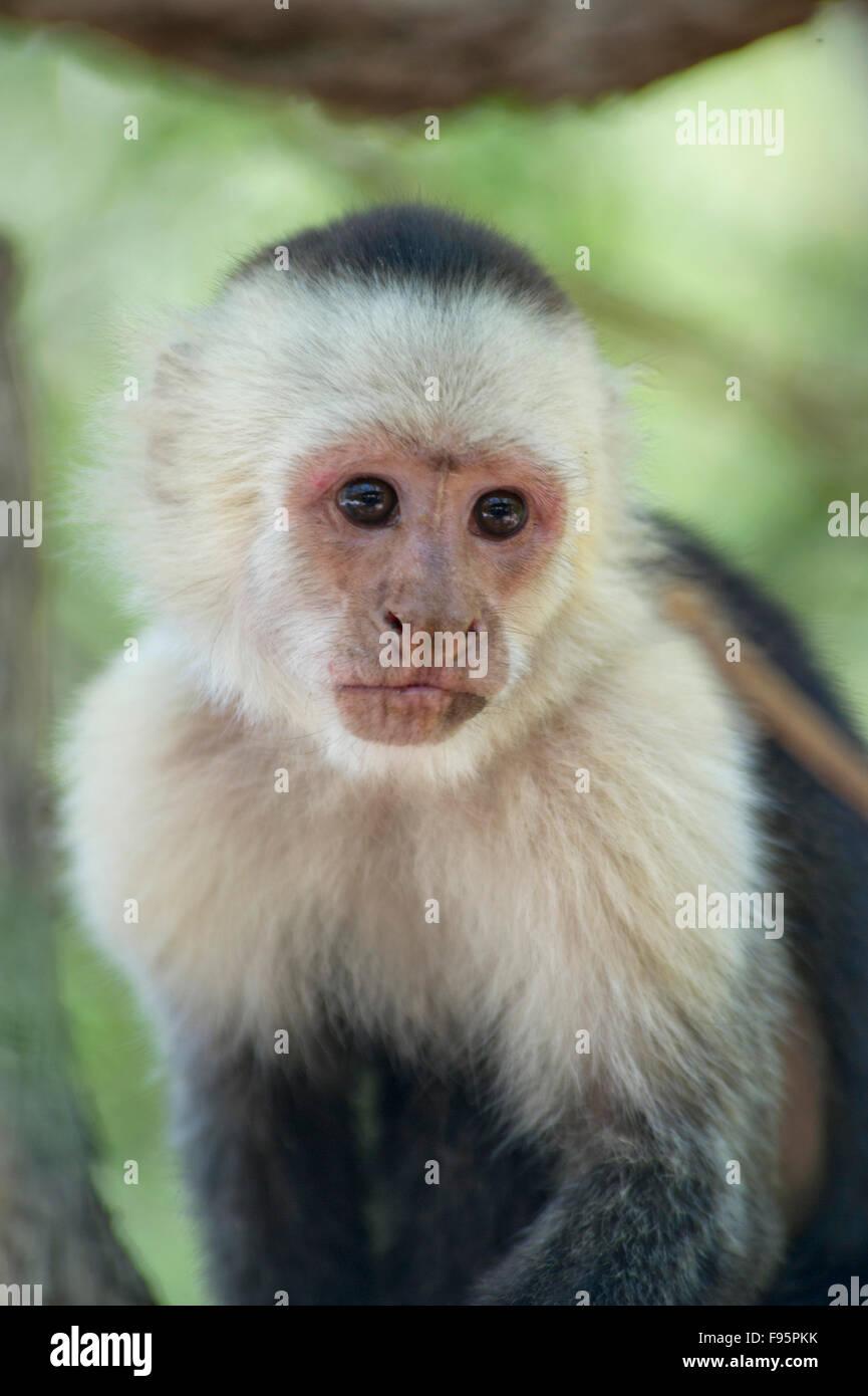 Whiteheaded capuchin (Cebus capucinus) monkey in the jungle of Costa Rica - Stock Image
