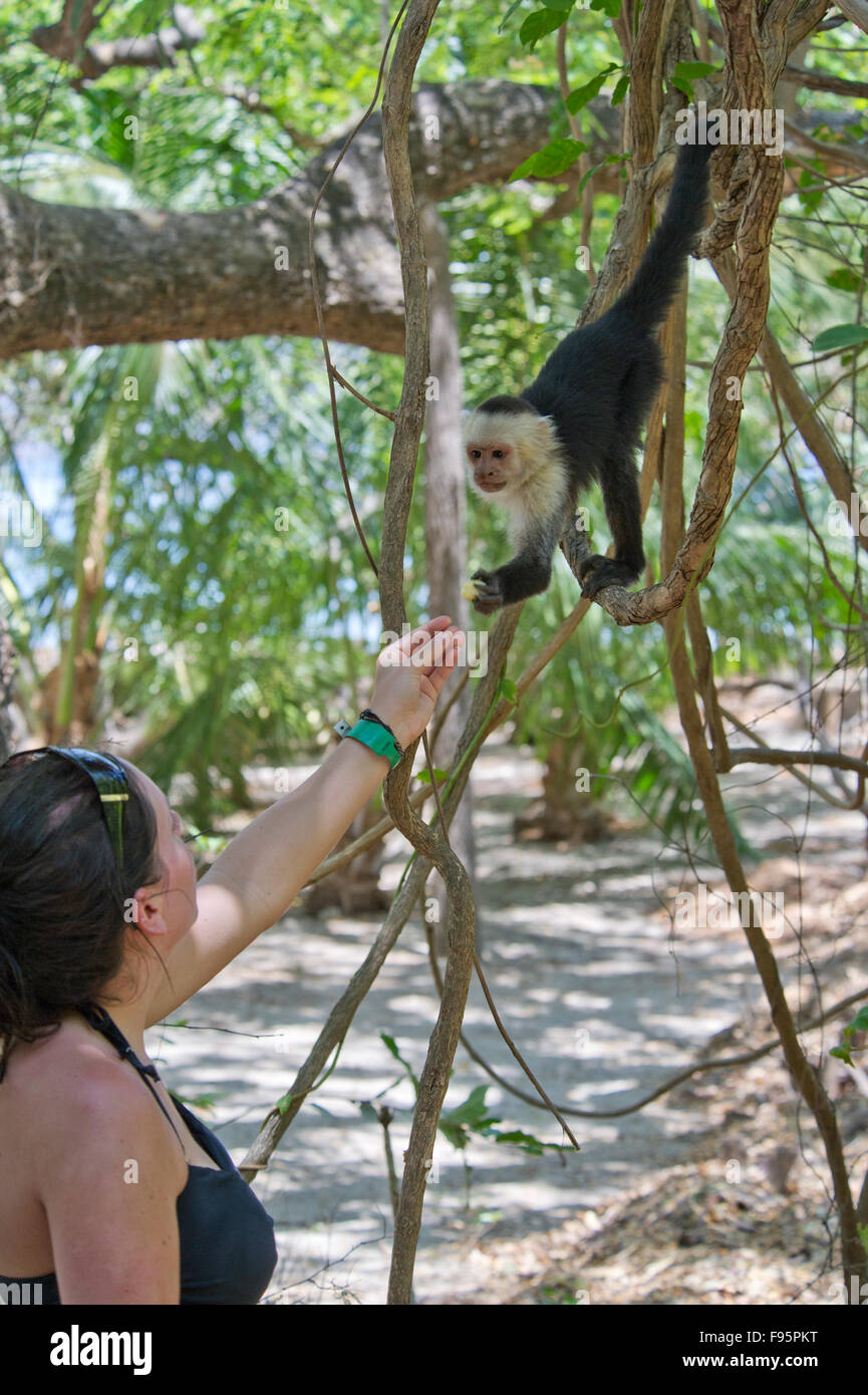 Tourist feeding a Whiteheaded capuchin (Cebus capucinus) monkey in the jungle of Costa Rica Stock Photo