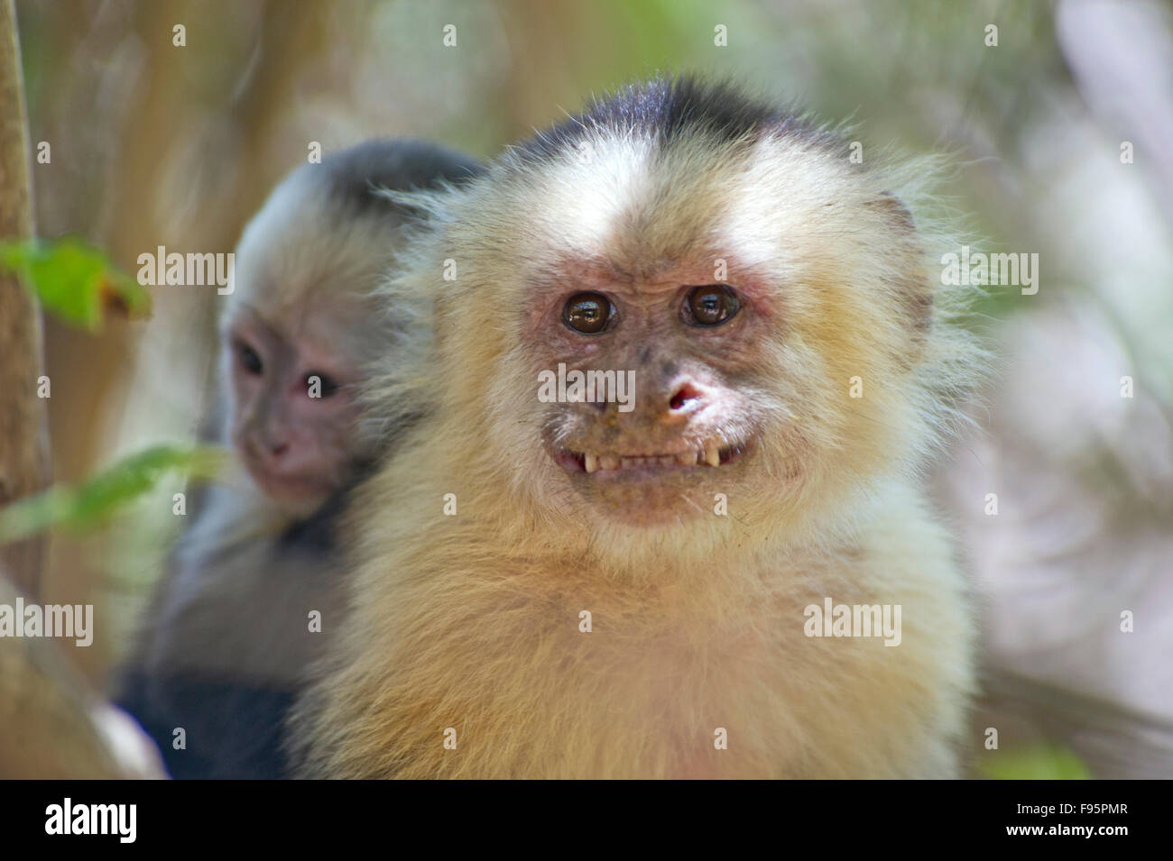Whiteheaded capuchin (Cebus capucinus) monkey carrying a cub on its back Stock Photo