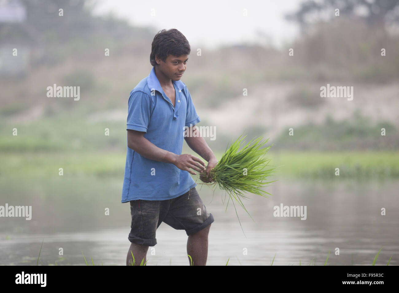 Dhaka, Bangladesh. 14th Dec, 2015. A Bangladeshi farmer plants paddy seedlings in a field at Savar, near Dhaka, - Stock Image