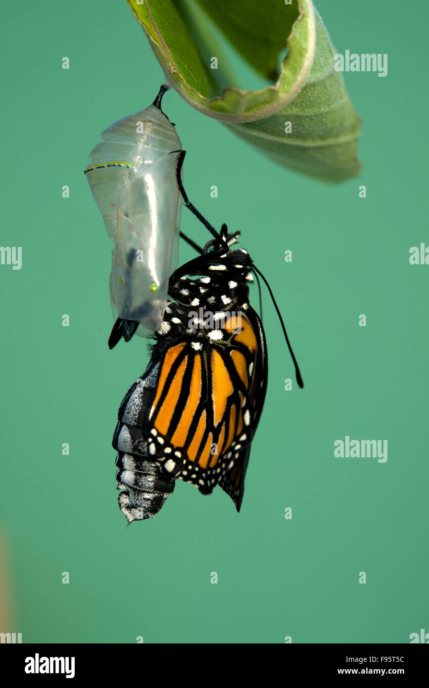 Monarch butterfly newly hatched, resting on milkweed plant. (Danaus plexippus). Near Thunder Bay, Ontario, Canada. - Stock Image