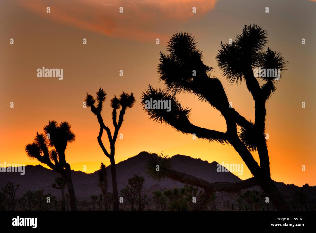 Evening,  Joshua Tree National Park, Calif. USA - Stock Image