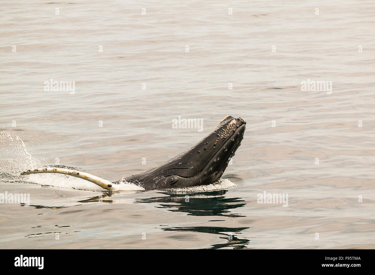 Humpback Whale spyhopping, (Megaptera novaeangliae), Witless Bay Ecological Reserve, Newfoundland, Canada - Stock Image