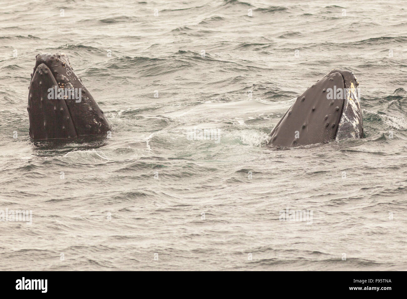 Humpback Whales spyhopping, (Megaptera novaeangliae), Witless Bay Ecological Reserve, Newfoundland, Canada - Stock Image