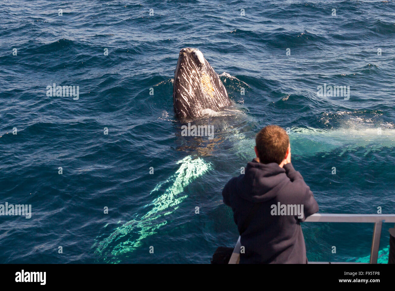 Humpback Whale spyhopping, (Megaptera novaeangliae), while whale watcher takes his photograph, Witless Bay Ecological - Stock Image