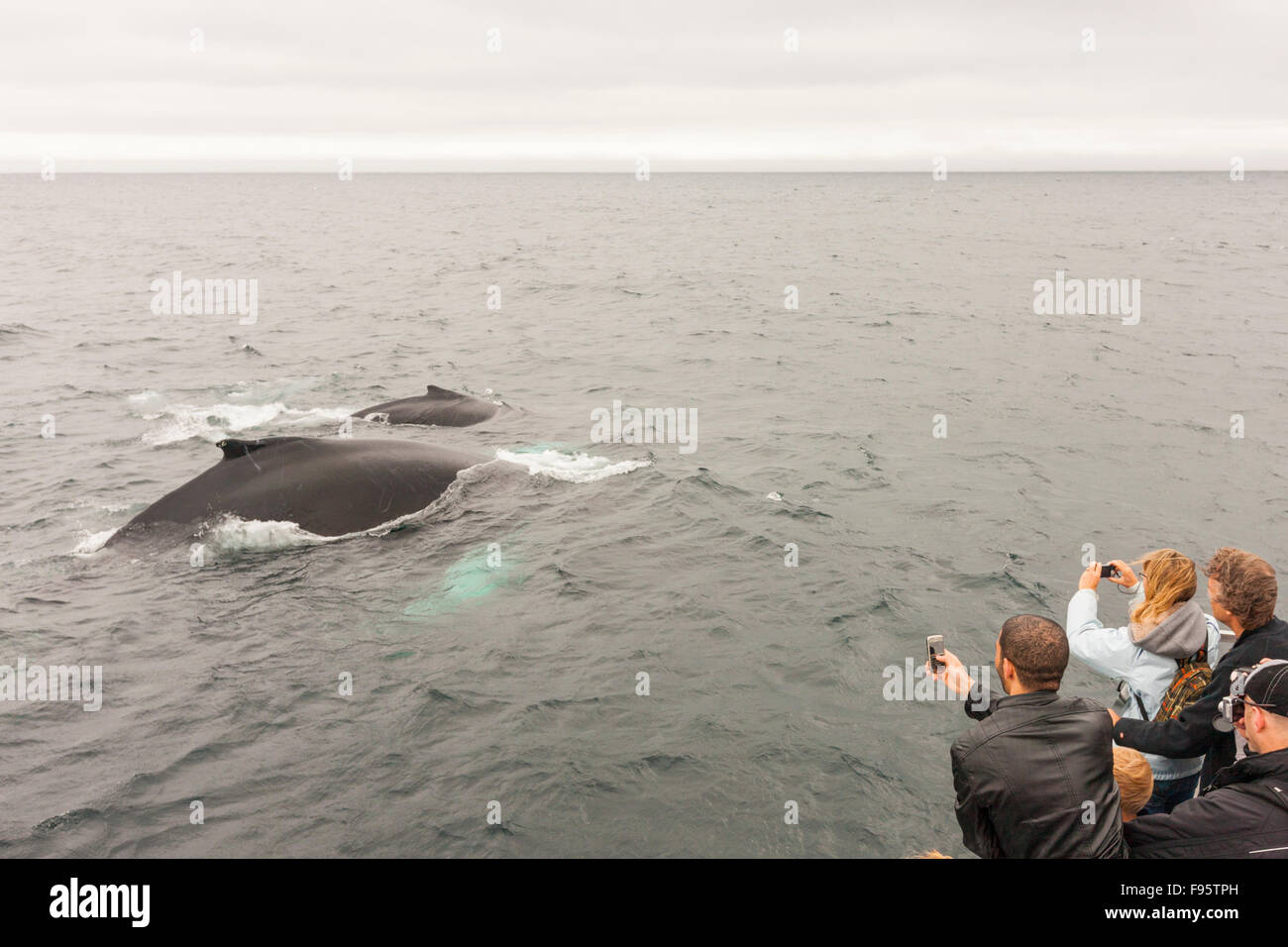 Mother and calf Humpback Whales, (Megaptera novaeangliae), and whale watchers, Witless Bay Ecological Reserve, Newfoundland, - Stock Image
