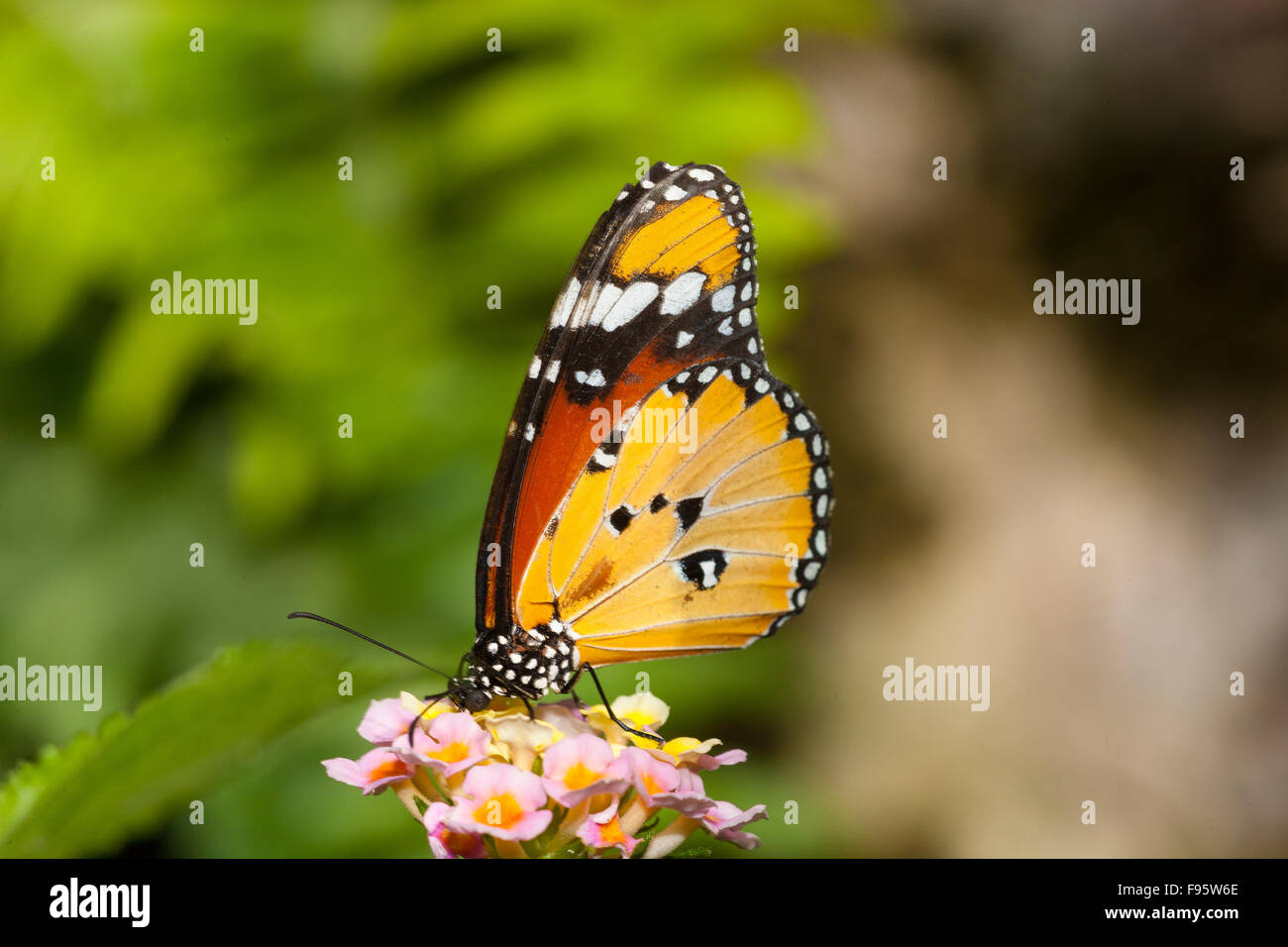 Mimic Butterfly, (Danaus chrysippus) Male, ventral view - Stock Image