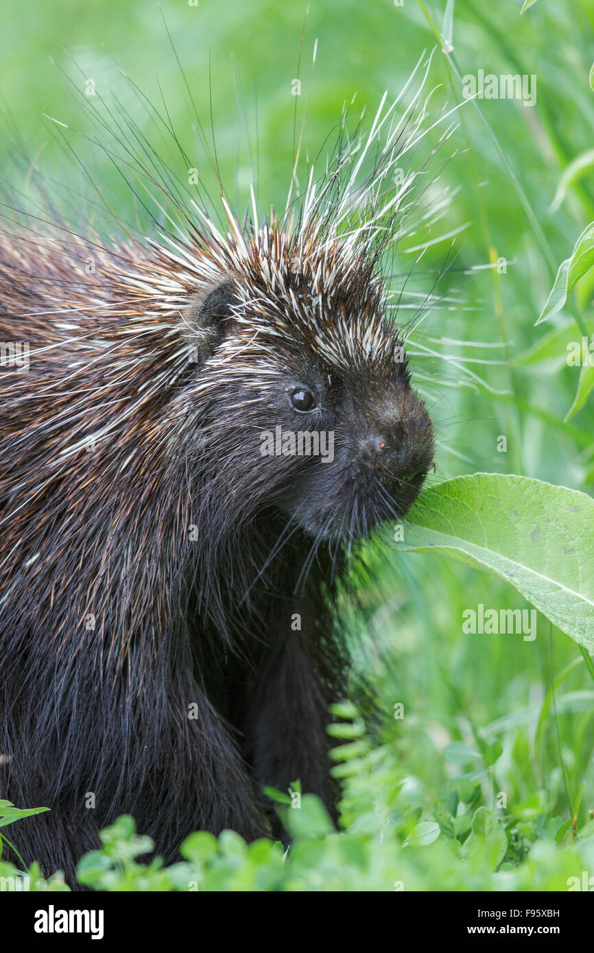 A Porcupine in southern Ontario, Canada. - Stock Image