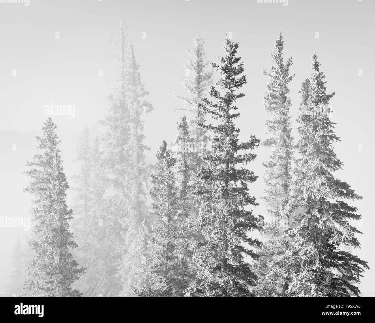 Spruce Trees covered in frost Bighorn Dam, Bighorn Wildlands, Alberta, Canada - Stock Image