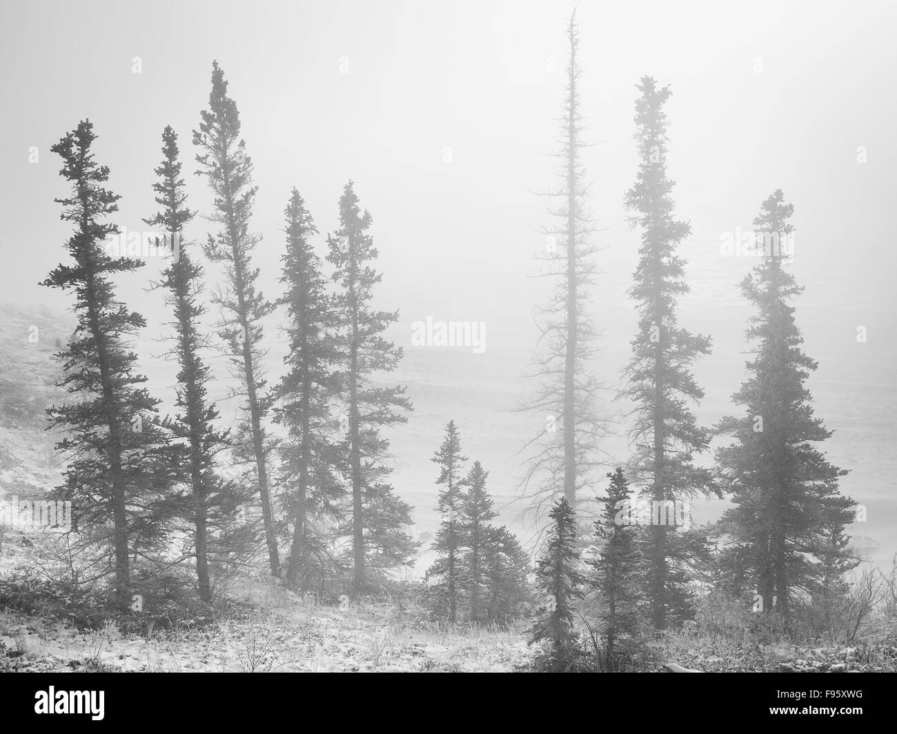 Spruce Trees covered in frost, Bighorn Dam, Abraham Lake, Bighorn Wildlands, Alberta, Canada - Stock Image