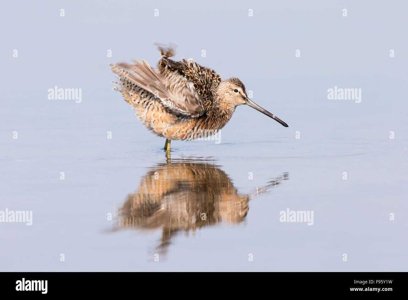 Dowitcher (Limnodromus sp.), ruffling feathers, Burnaby Lake, Burnaby, British Columbia. - Stock Image