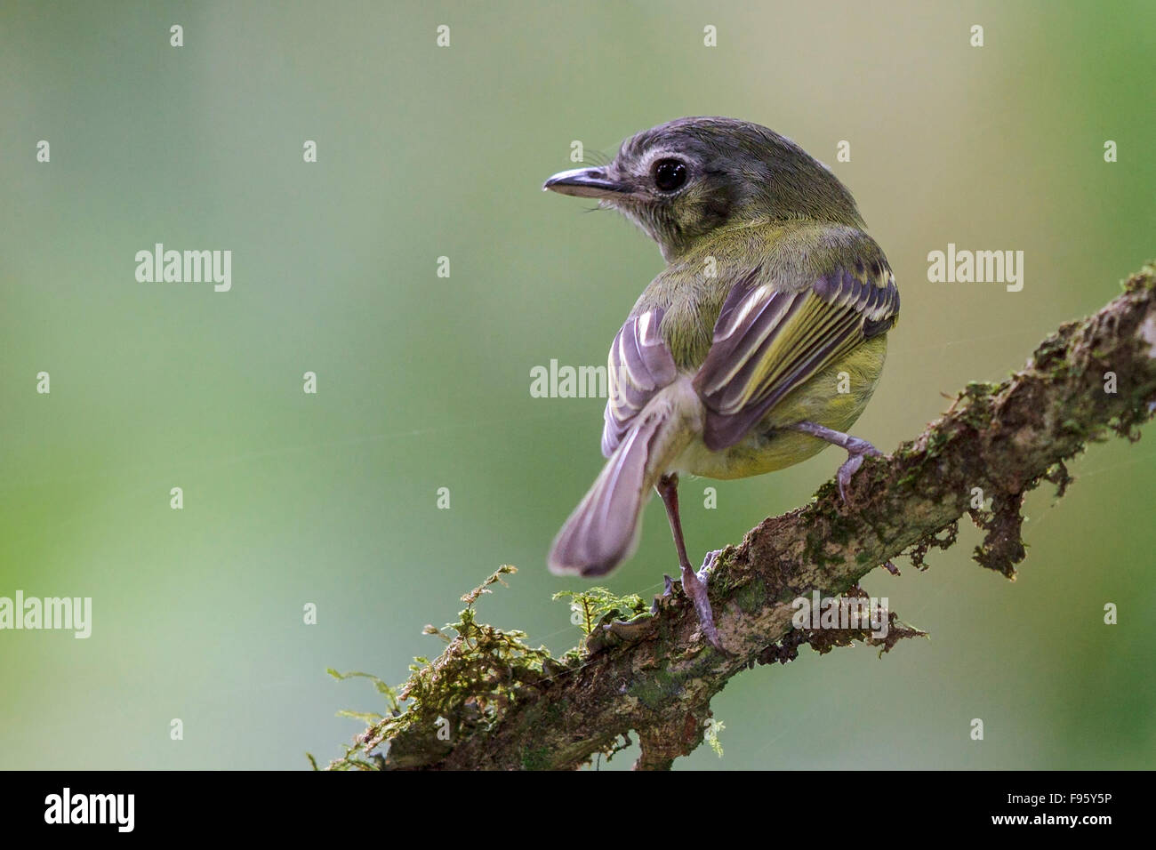 São Paulo Tyrannulet (Phylloscartes paulista) perched on a branch in the Atlantic rainforest of southeast Brazil. - Stock Image