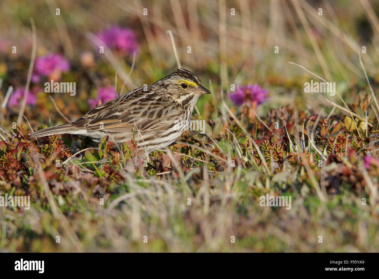 Savannah Sparrow (Passerculus sandwichensis) on the tundra near Churchill, Manitoba, Canada. Stock Photo