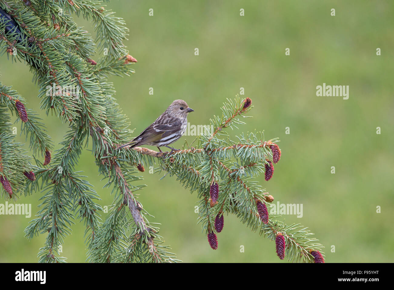 Pine siskin (Spinus pinus), Lac Le Jeune, British Columbia. Bird attracted to perch setup with food. - Stock Image