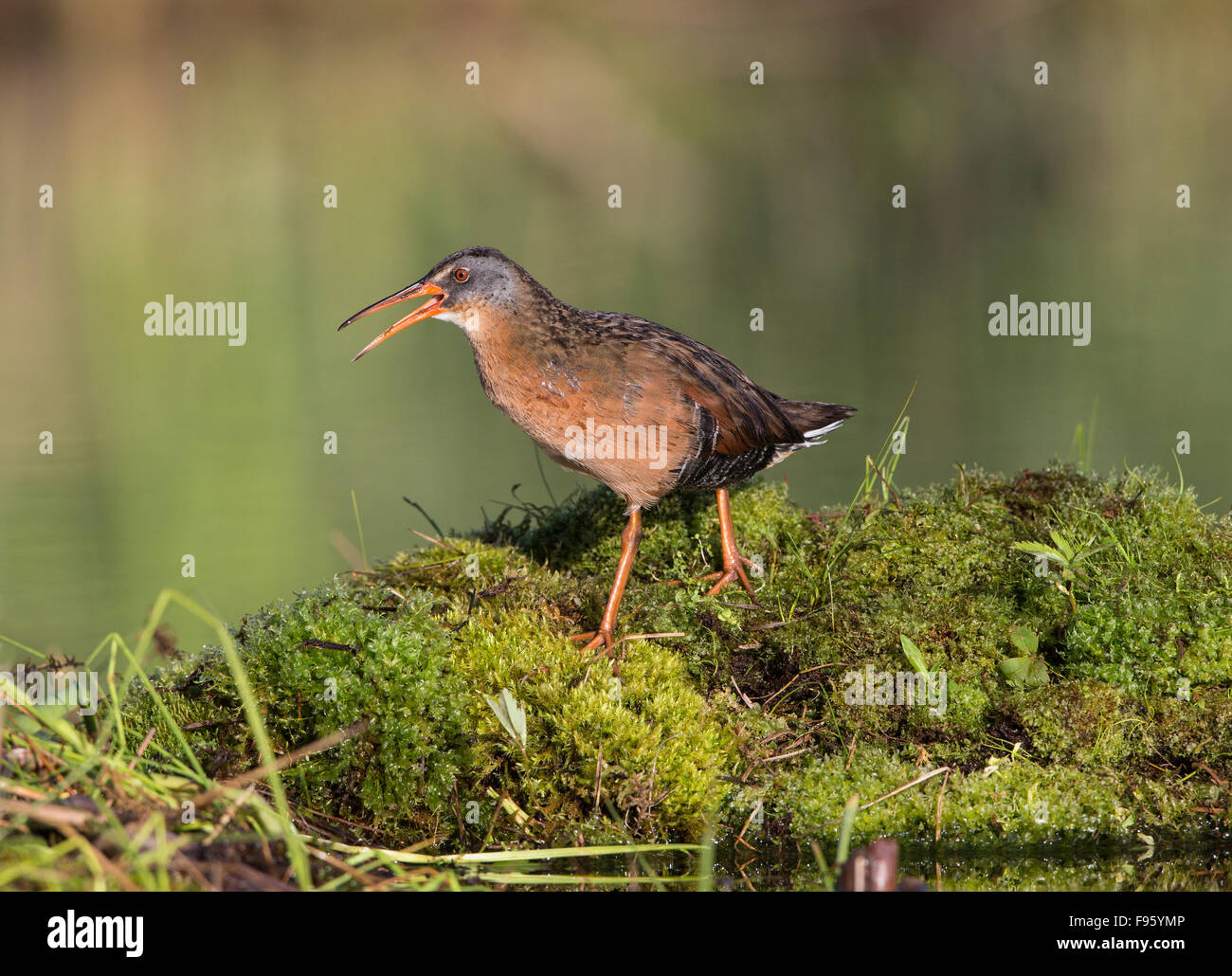 Virginia rail (Rallus limicola), male calling, Lac Le Jeune, British Columbia. Bird attracted to perch setup with - Stock Image