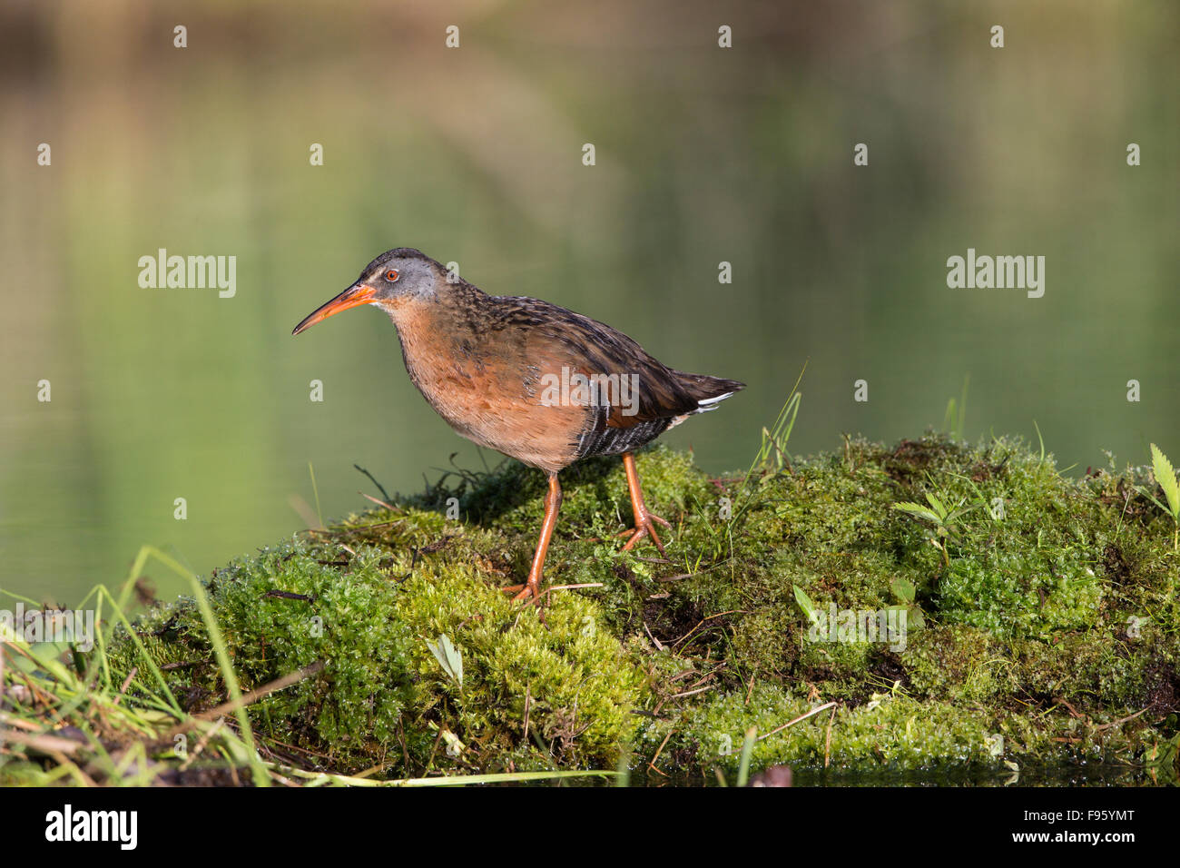 Virginia rail (Rallus limicola), male, Lac Le Jeune, British Columbia. Bird attracted to perch setup with recorded - Stock Image