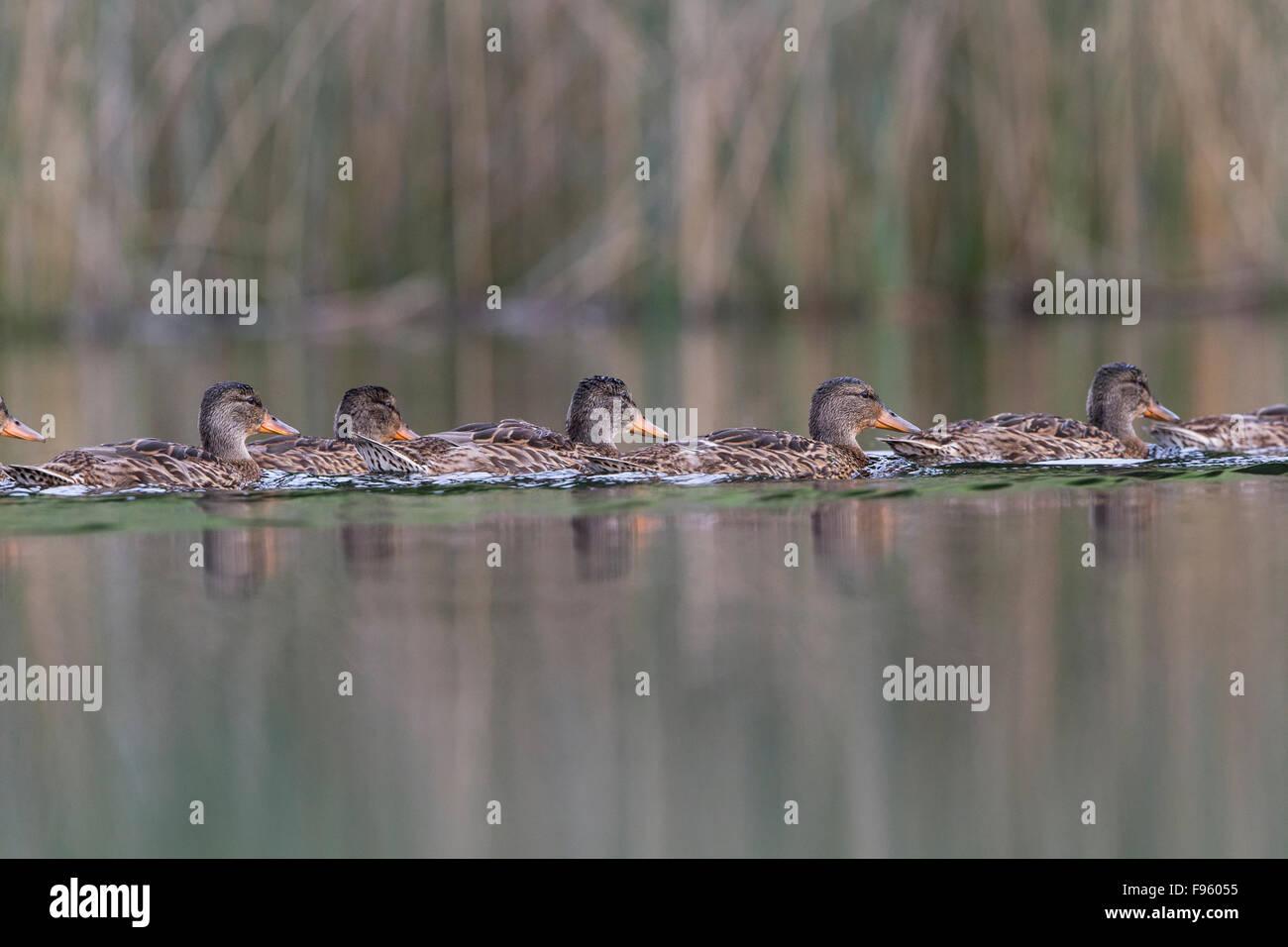 Mallard (Anas platyrhynchos), females, Kamloops, British Columbia. - Stock Image