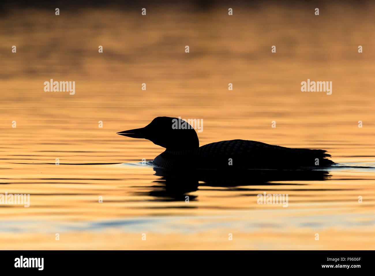 Common loon (Gavia immer), adult at sunrise, Lac Le Jeune, British Columbia. - Stock Image