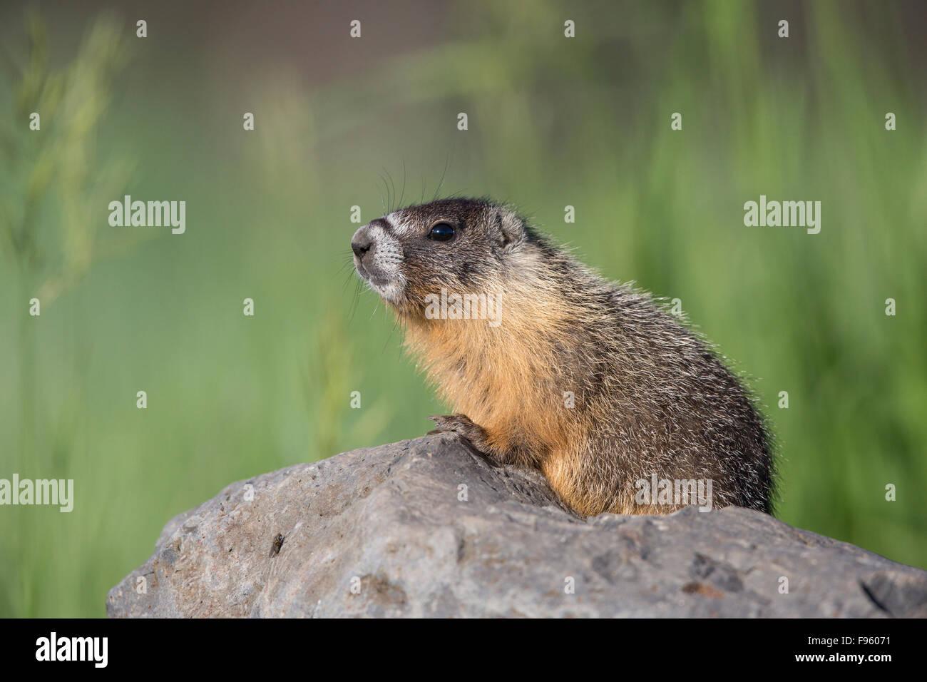 Yellowbellied marmot (Marmota flaviventris), near Tunkwa Lake, British Columbia. - Stock Image