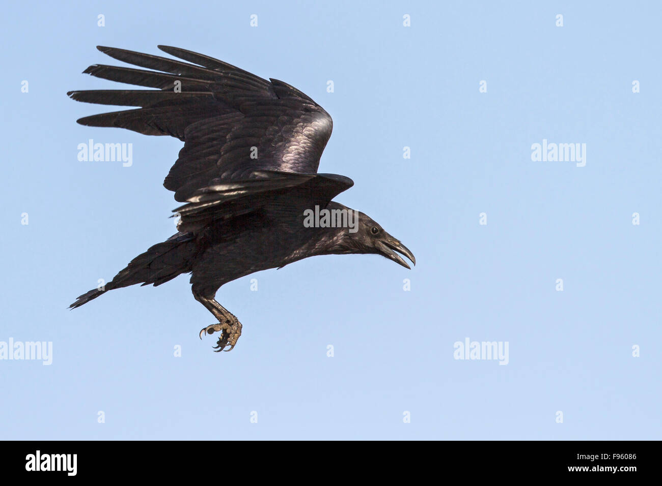 Common Raven (Corvus corax) flying over a marsh in central Washington State, USA. - Stock Image