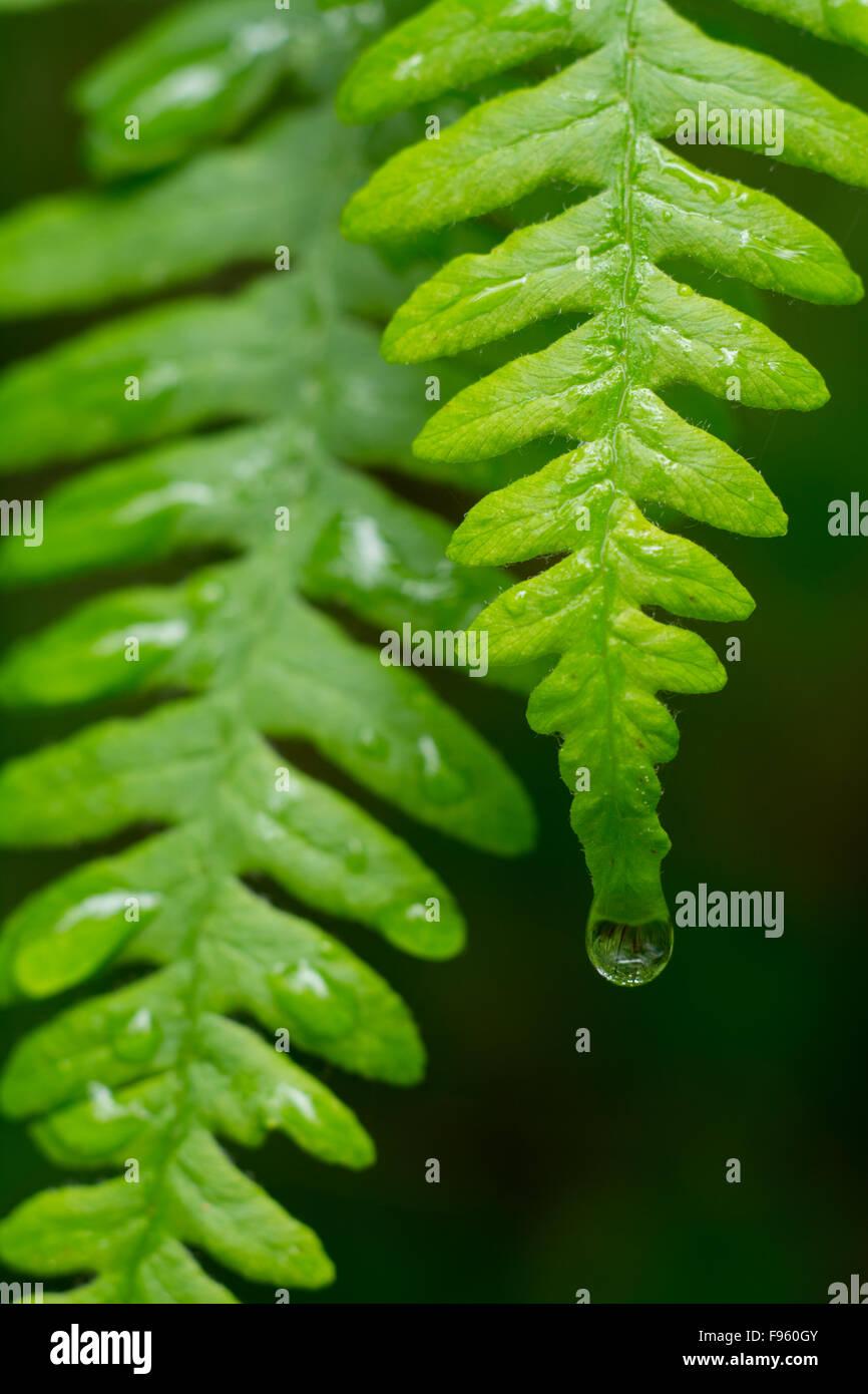 Polypodium glycyrrhiza, commonly known as licorice fern with raindrops, British Columbia, Canada Stock Photo