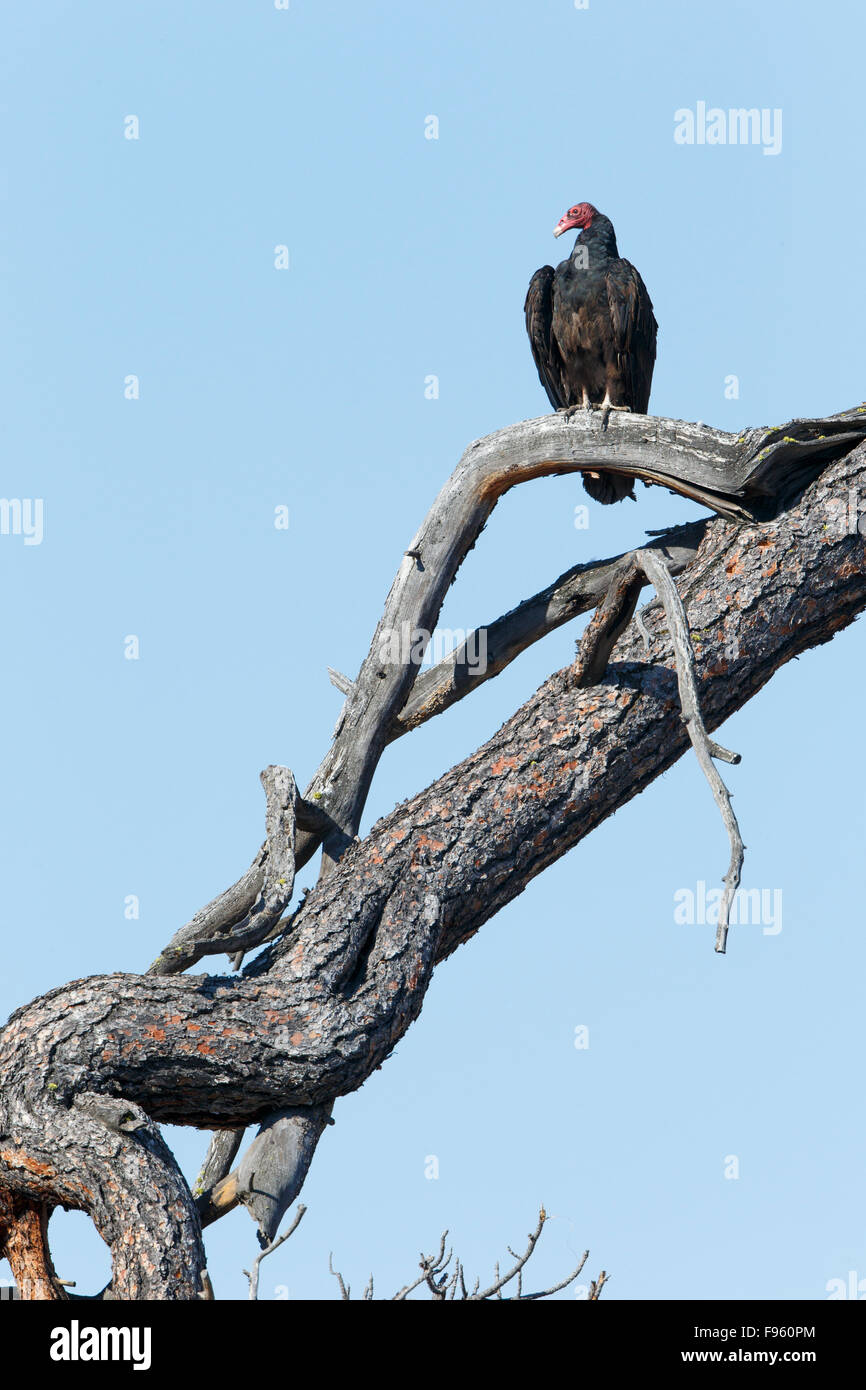 Turkey vulture (Cathartes aura), ThompsonNicola region, British Columbia. - Stock Image