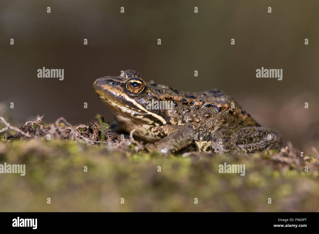 Columbia spotted frog (Rana luteiventris), ThompsonNicola region, British Columbia. - Stock Image