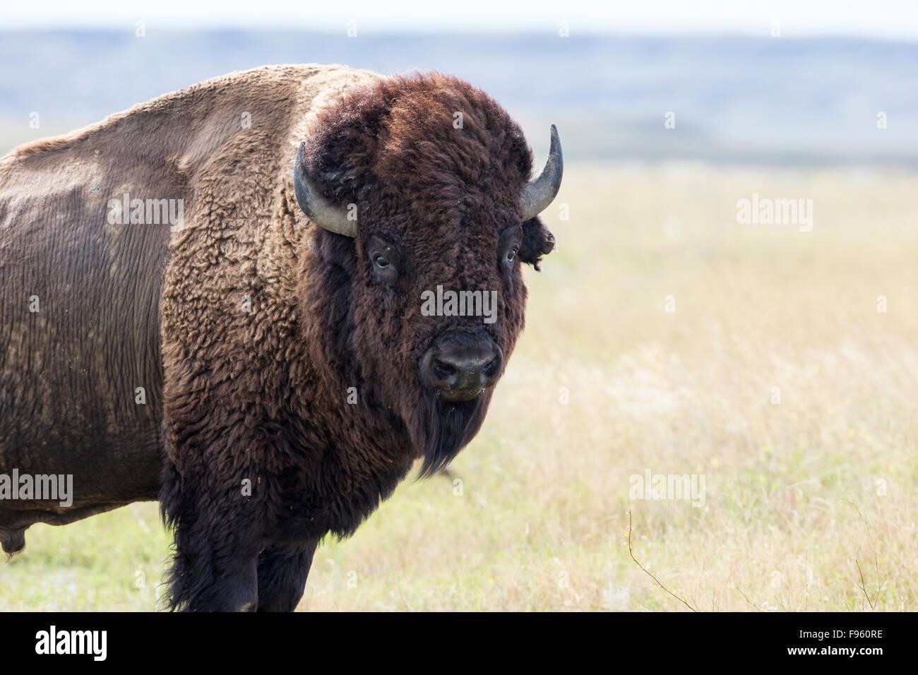 Plains bison (Bison bison bison), bull, Grasslands National Park, Saskatchewan. - Stock Image