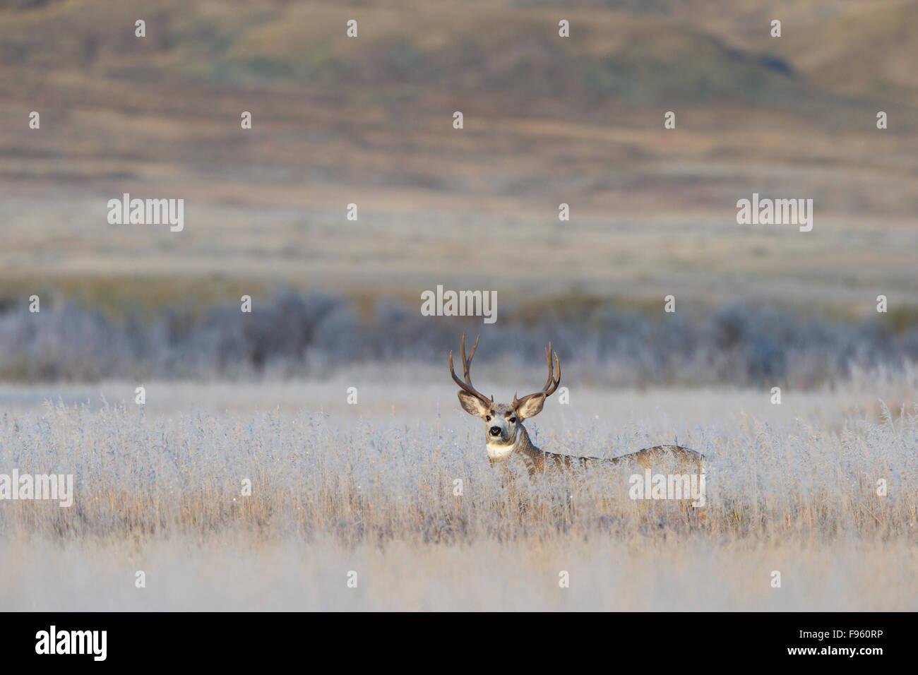 Mule deer (Odocoileus hemionus), buck on a frosty fall morning, Grasslands National Park, Saskatchewan. - Stock Image