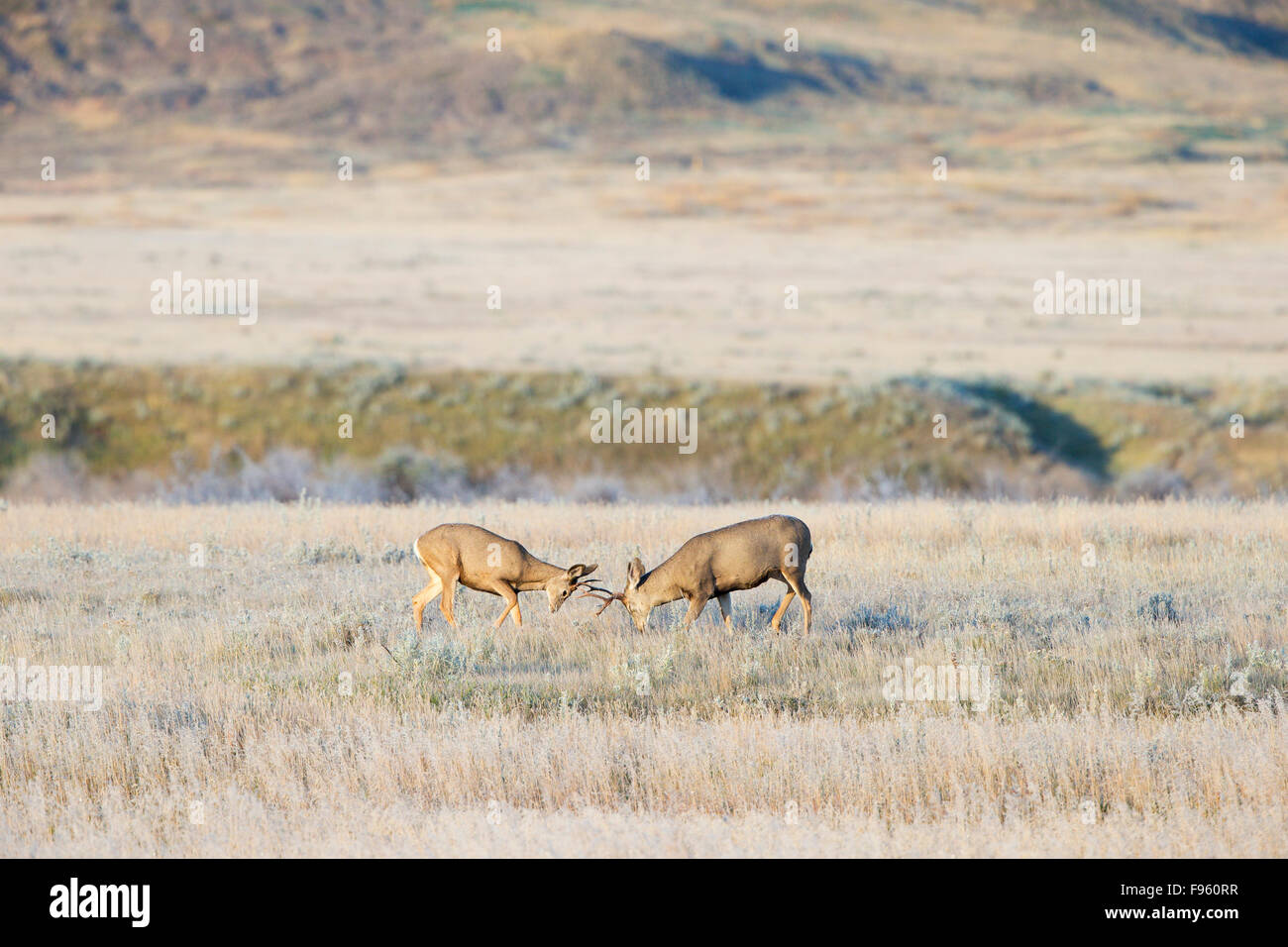 Mule deer (Odocoileus hemionus), bucks sparring on a frosty fall morning, Grasslands National Park, Saskatchewan. - Stock Image