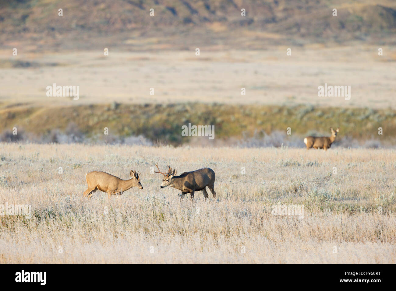 Mule deer (Odocoileus hemionus), bucks sparring on a frosty fall morning with doe beyond, Grasslands National Park, - Stock Image