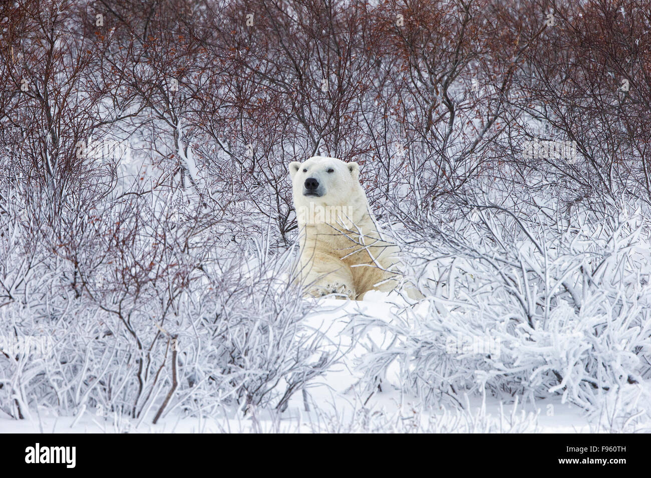 Polar bear (Ursus maritimus), resting among willows (Salix sp.),  Cape Churchill, Wapusk National Park, Manitoba. - Stock Image