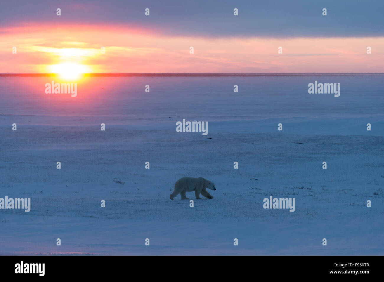 Polar bear (Ursus maritimus), male walking at sunset, Cape Churchill, Wapusk National Park, Manitoba. Stock Photo