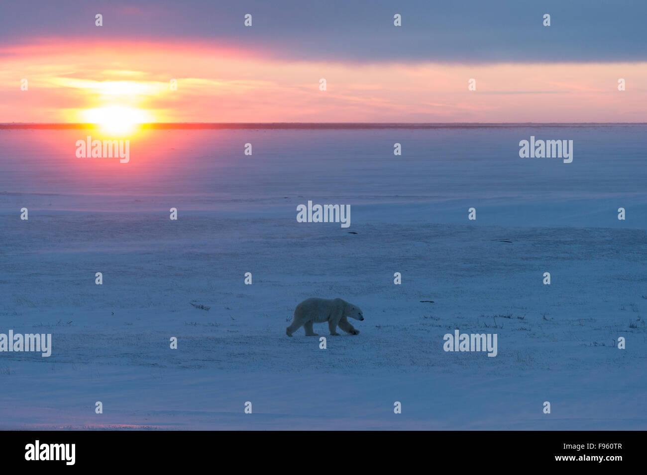 Polar bear (Ursus maritimus), male walking at sunset, Cape Churchill, Wapusk National Park, Manitoba. - Stock Image