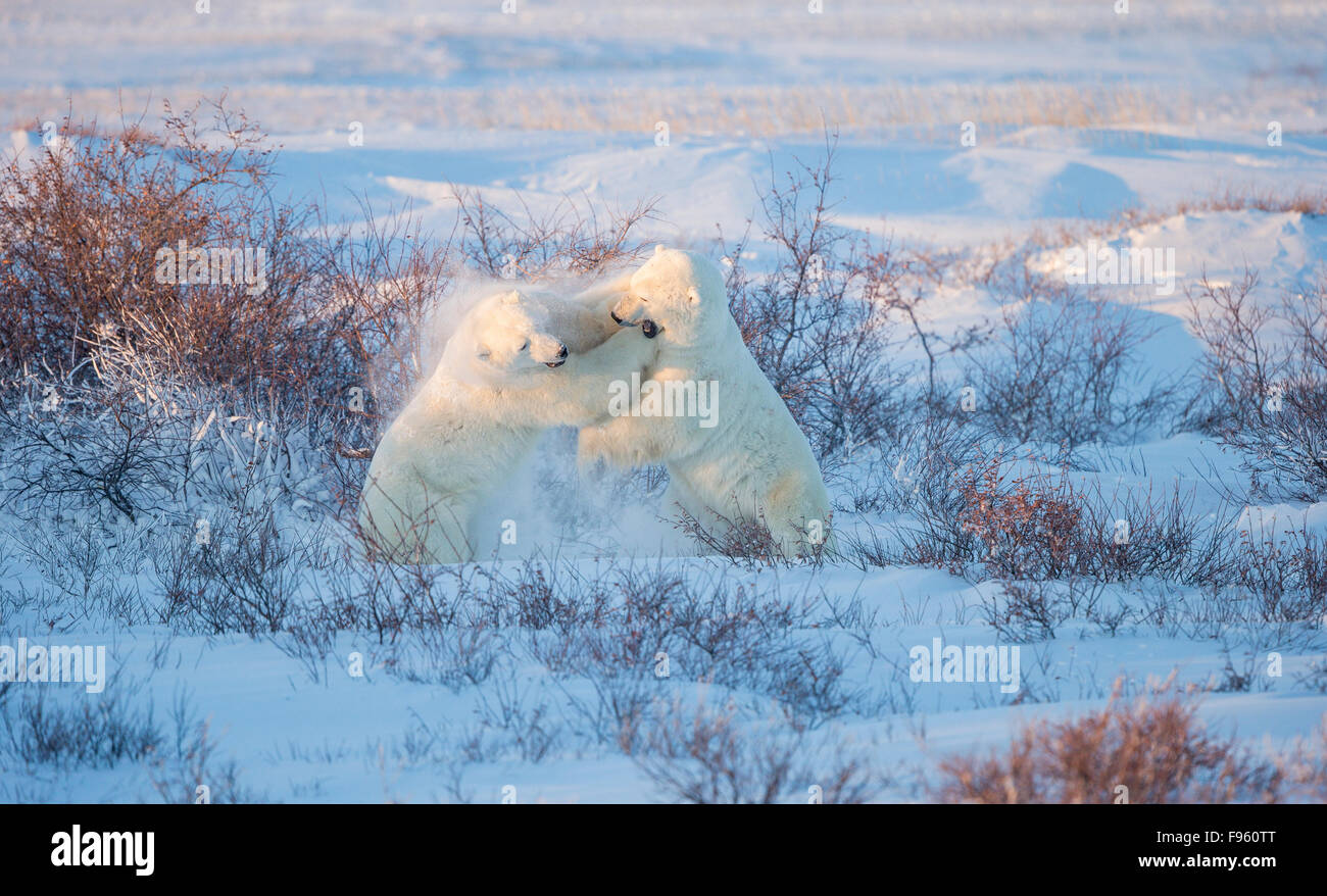 Polar bear (Ursus maritimus), males sparring, among willows (Salix sp.),  Cape Churchill, Wapusk National Park, - Stock Image