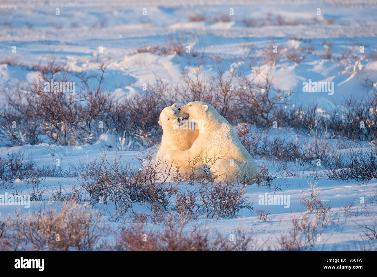 Polar bear (Ursus maritimus), males sparring, among willows (Salix sp.), Cape Churchill, Wapusk National Park, Manitoba. - Stock Image