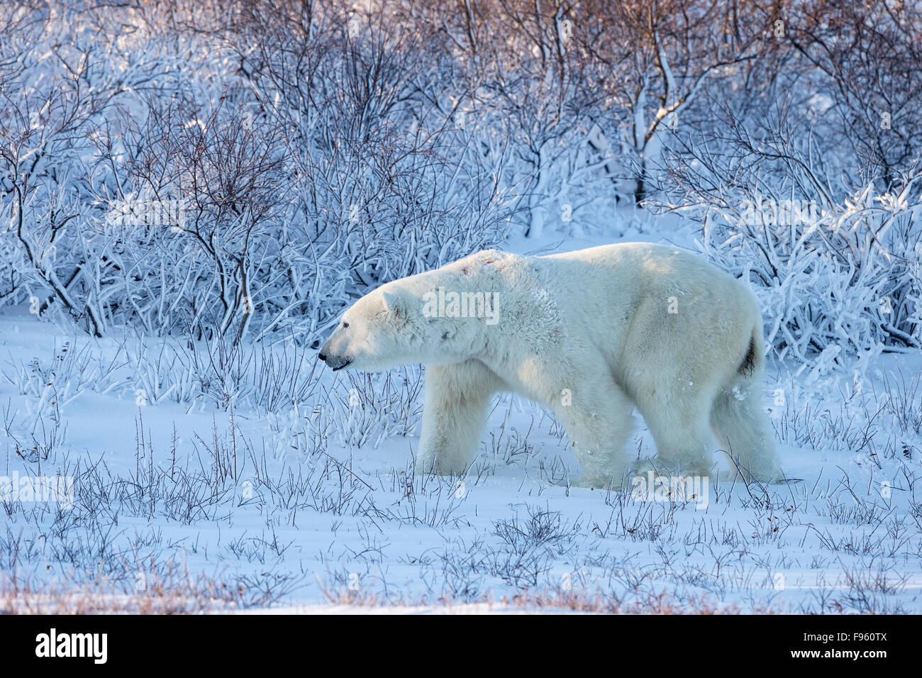 Polar bear (Ursus maritimus), male walking among willows (Salix sp.), Cape Churchill, Wapusk National Park, Manitoba. - Stock Image