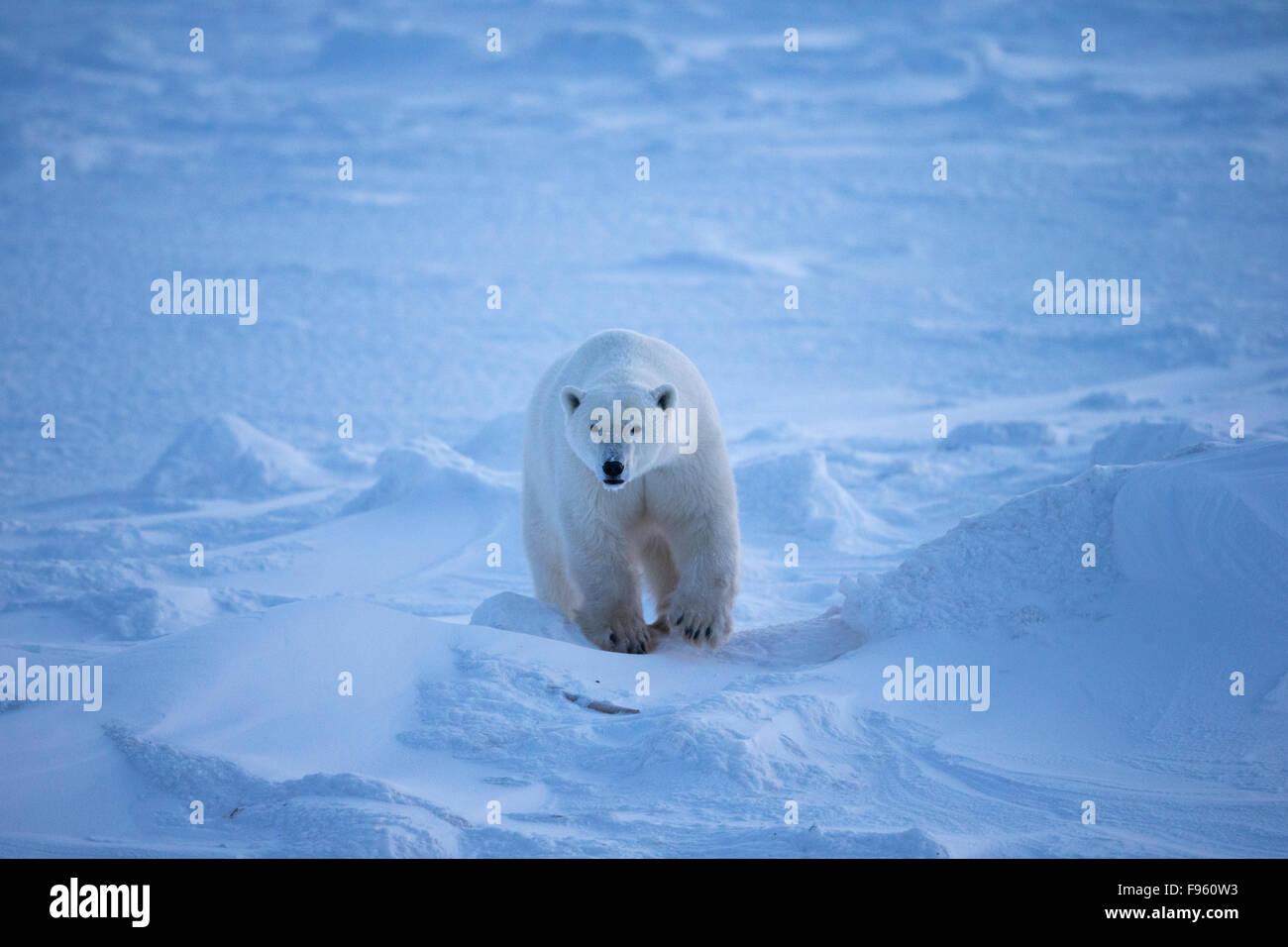 Polar bear (Ursus maritimus), Cape Churchill, Wapusk National Park, Manitoba. - Stock Image