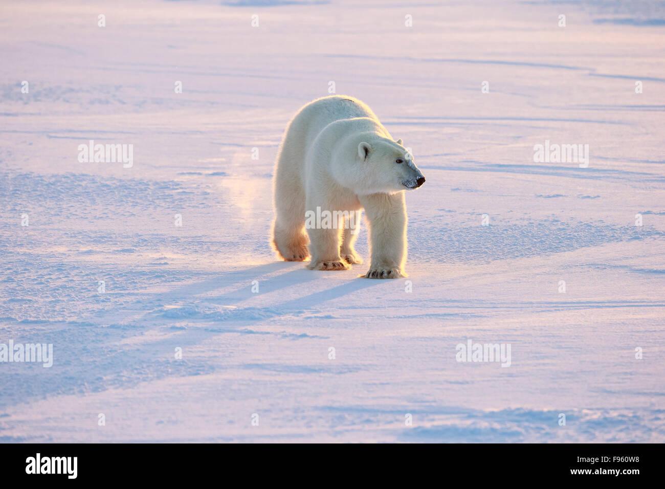 Polar bear (Ursus maritimus), walking, Cape Churchill, Wapusk National Park, Manitoba. - Stock Image