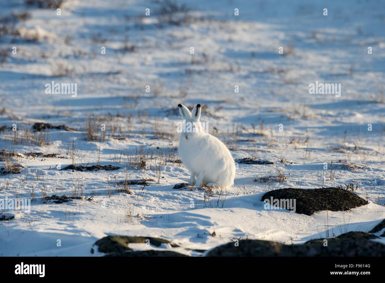 Arctic hare (Lepus arcticus), in winter pelage, Cape Churchill, Wapusk National Park, Manitoba. - Stock Image